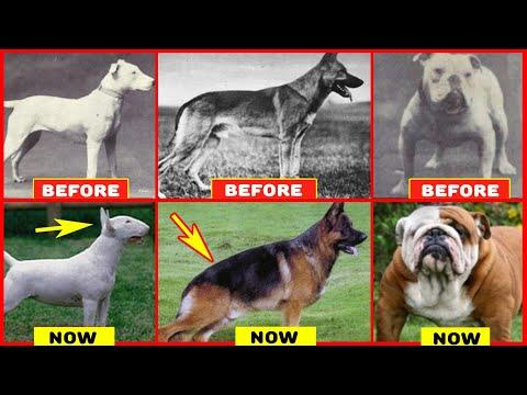 Years of Breeding Ruined Popular Dog Breeds