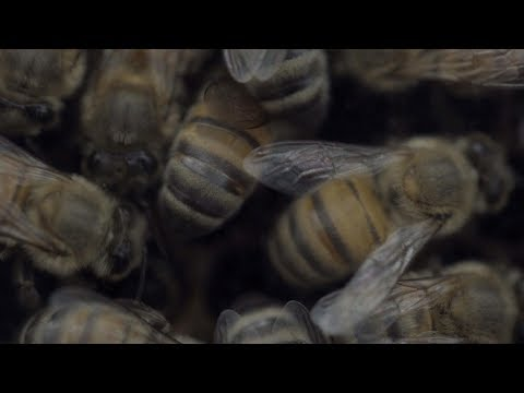 Bee Migration   ABC News
