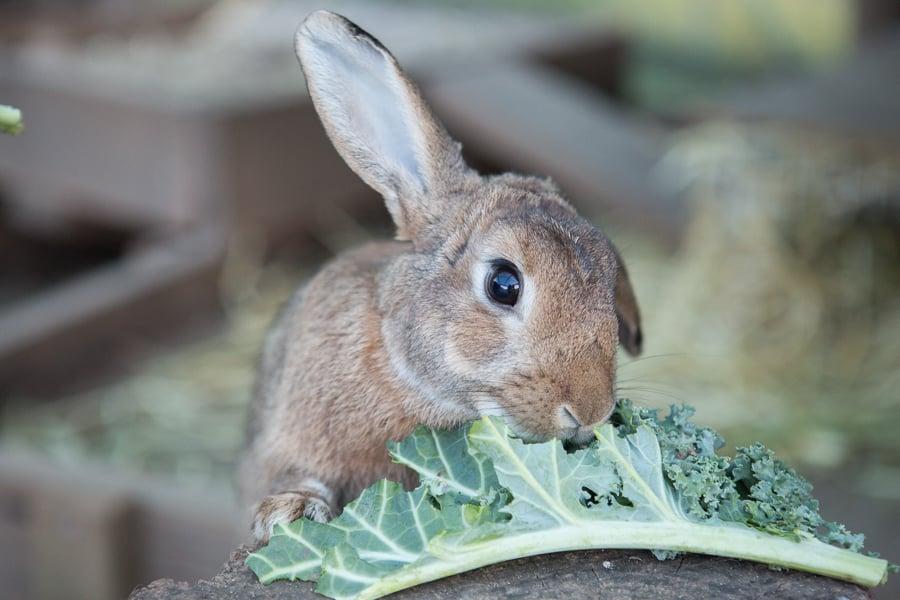 Rabbit eating kale