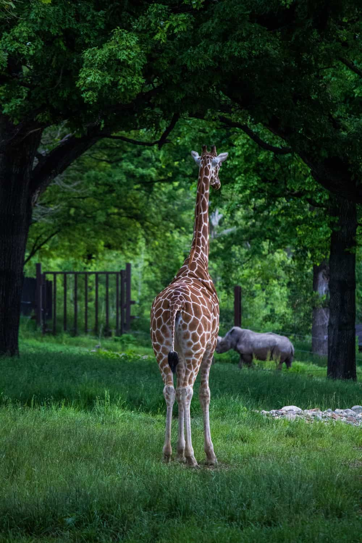 giraffe in green zoo