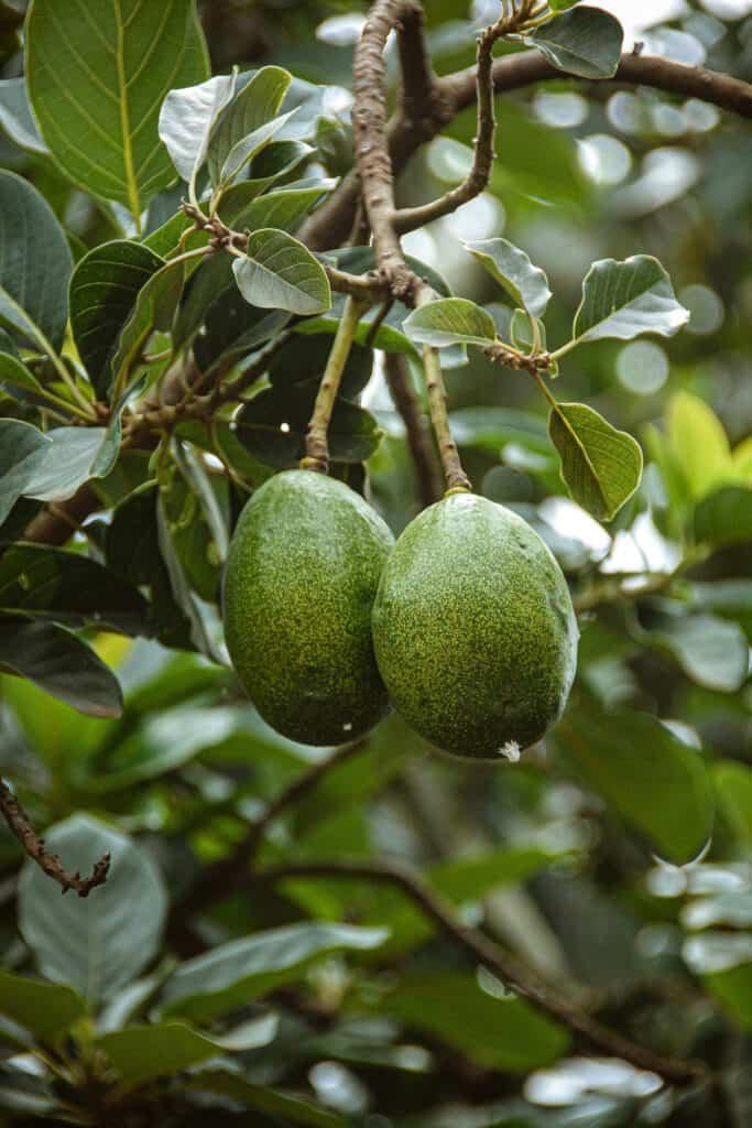Avocados on tree