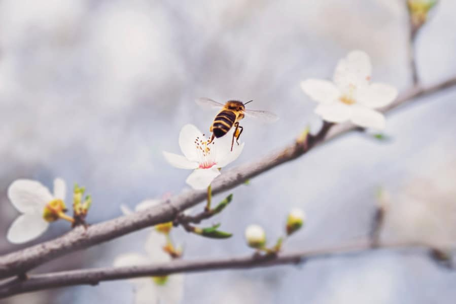 Bee flying towards tree with flowers.