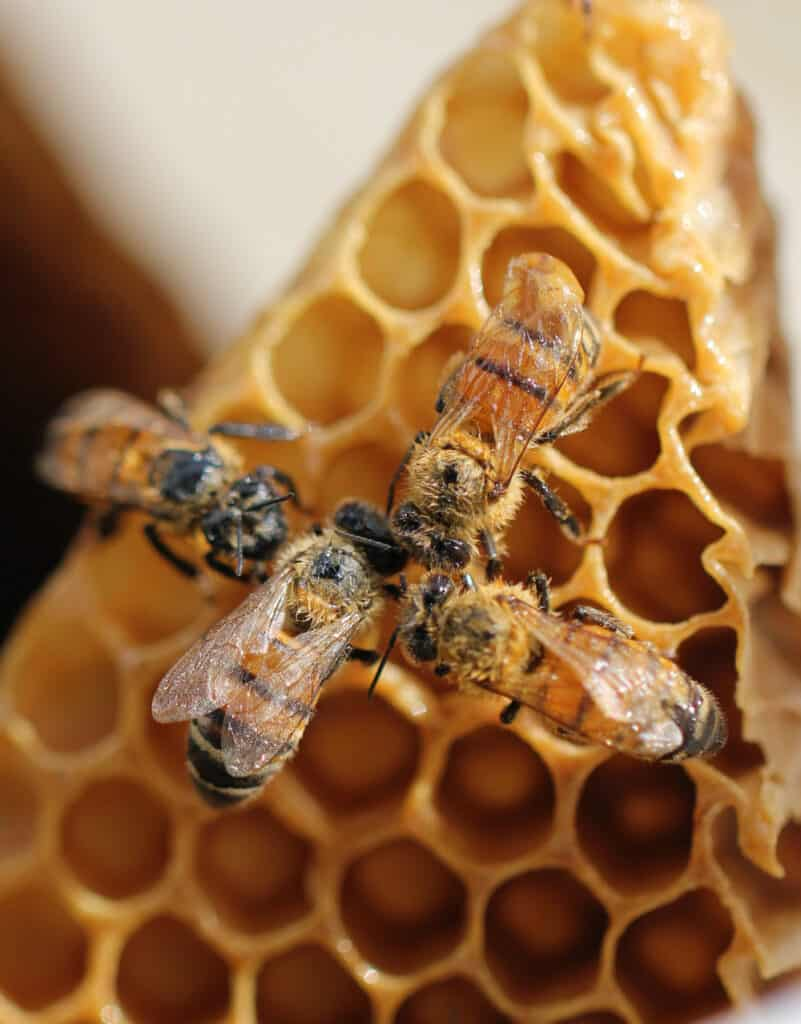 Bees huddled in on top of their honeycomb.