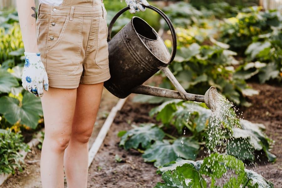 Woman watering plants in veggie garden.