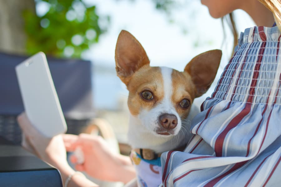 Chihuahua sitting in a woman's lap.