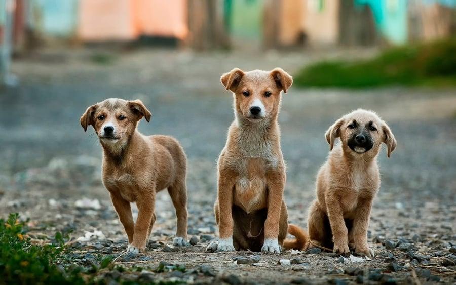 Three dogs looking ahead.