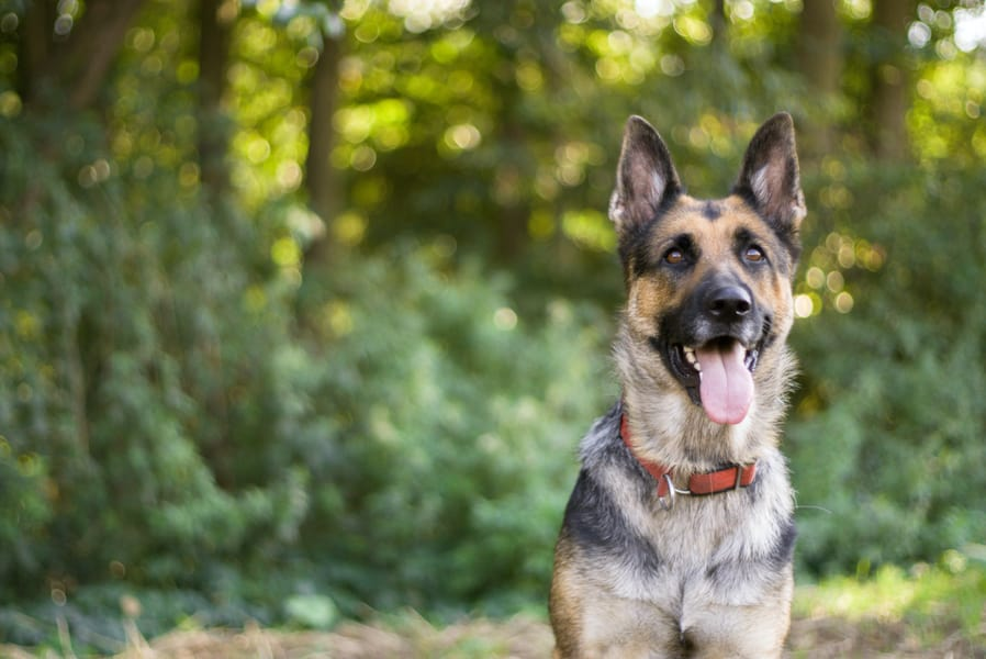 German Shepard sitting down with tongue out looking straight ahead.