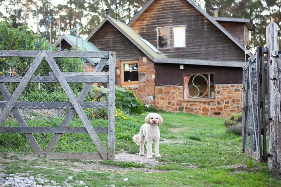 Dog at the gate in front of a house on a farm.